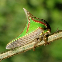 Thorn Bug (Umbonia Spinosa)