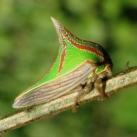 Thorn Bug (Umbonia Spinosa)